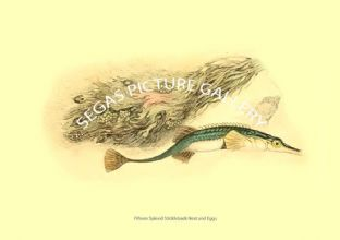 Fifteen Spined Stickleback Nest and Eggs